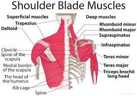 Shoulder Blade Muscle